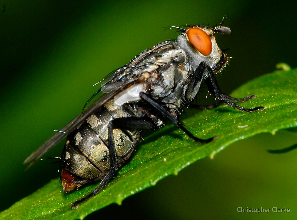 Louey the fly by Christopher Clarke