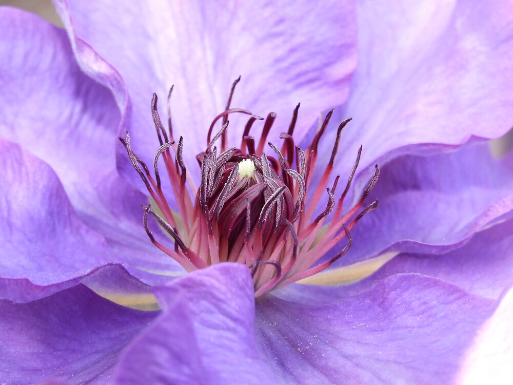 Clematis by tilly