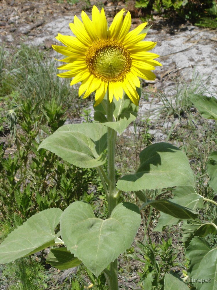 Standing Tall Sunflower by librapat