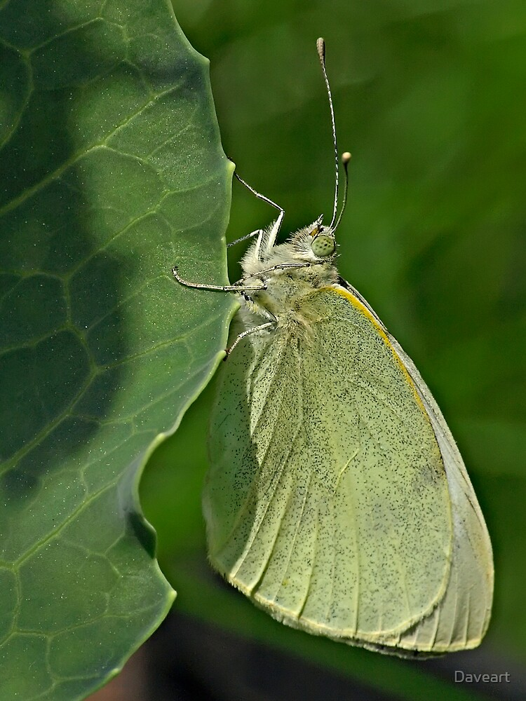 Cabbage White Butterfly by Daveart