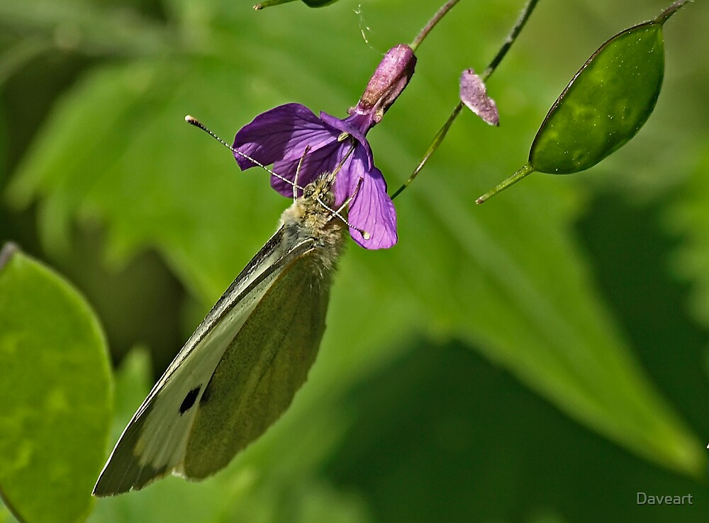 Cabbage White Butterfly 2 by Daveart