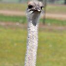 Ostrich by Coralie Plozza