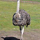 Ostrich 2 by Coralie Plozza