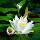 White Water Lily and Bud on Lily Pad by Beth Brightman
