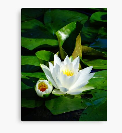 White Water Lily and Bud on Lily Pad Canvas Print