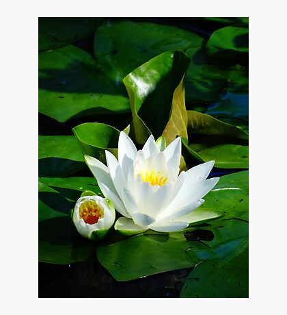 White Water Lily and Bud on Lily Pad Photographic Print