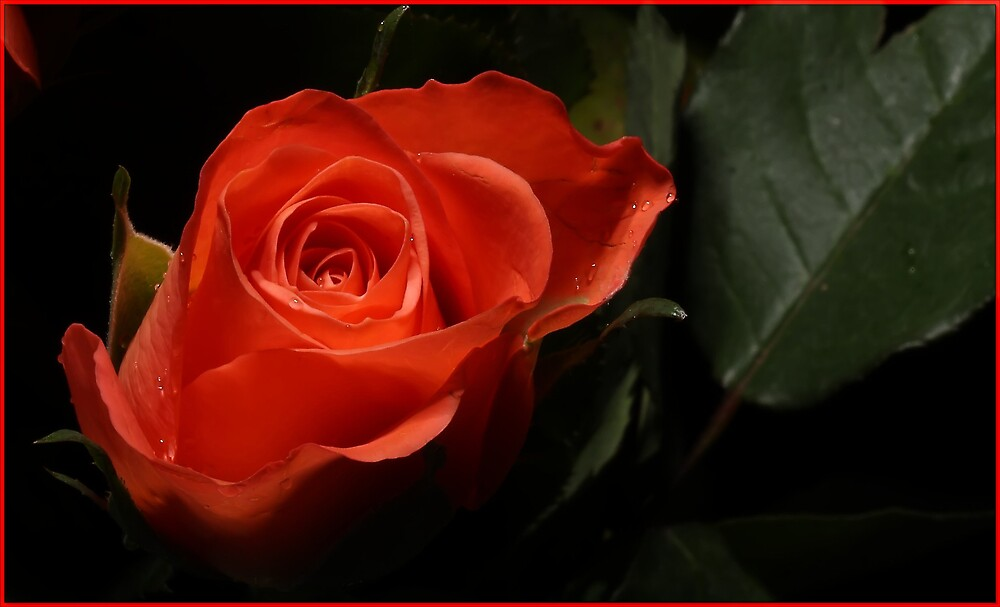 A Simple Rose. by crackerjack