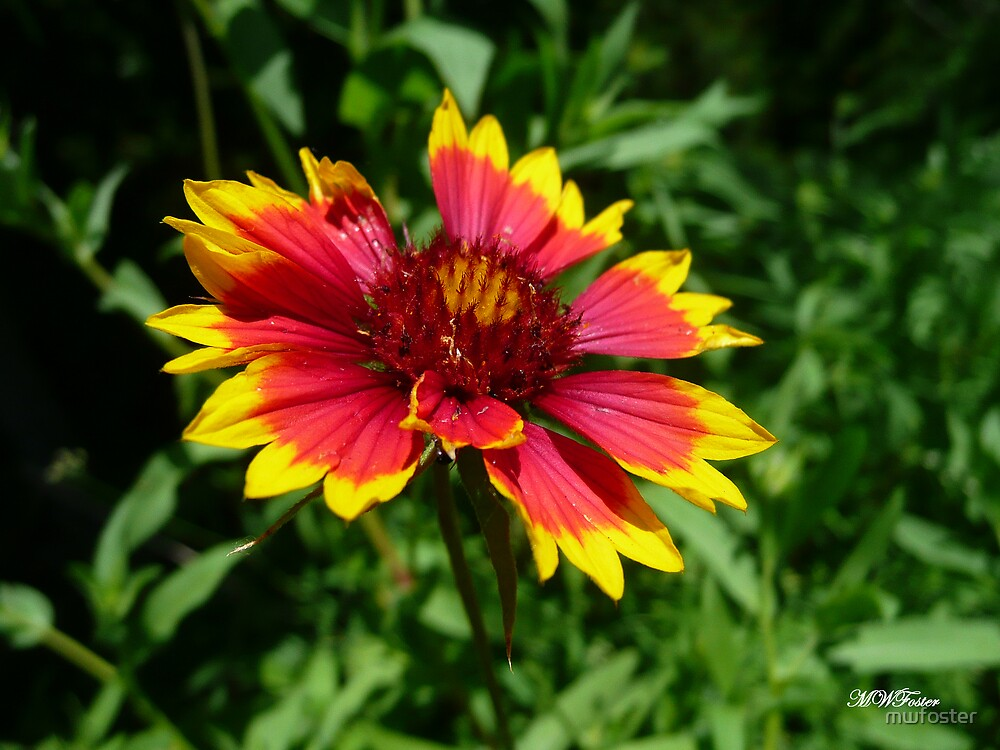 Indian Blanket by mwfoster