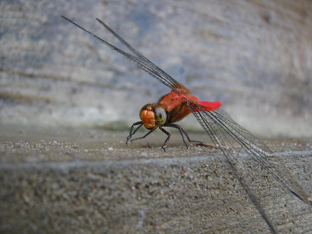 Red Dragonfly by tigervyh