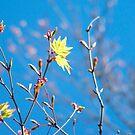 Japanese Maple Buds by Catherine Davis