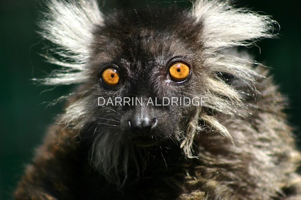 Lemur Einstein by DARRIN ALDRIDGE