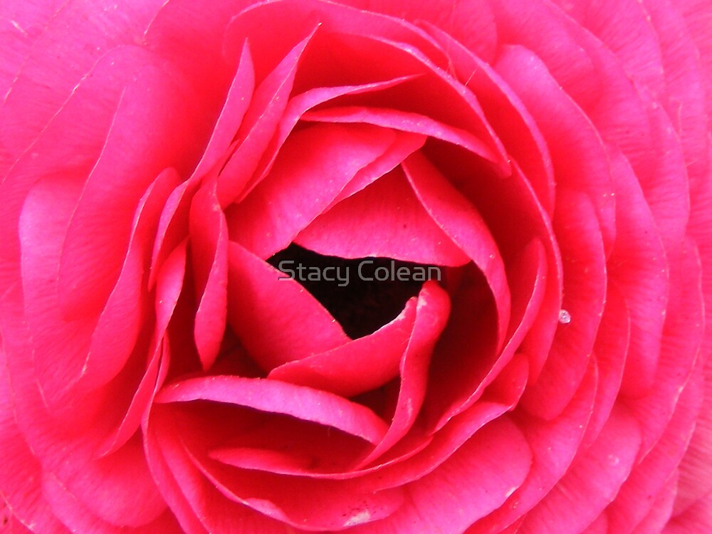 Lovely Rose.. by Stacy Colean