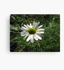 Daisy in Rain Canvas Print