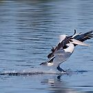 Pelican landing 3616 by kevin chippindall