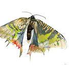 Madagascar Sunset Moth by Joel Borgerson