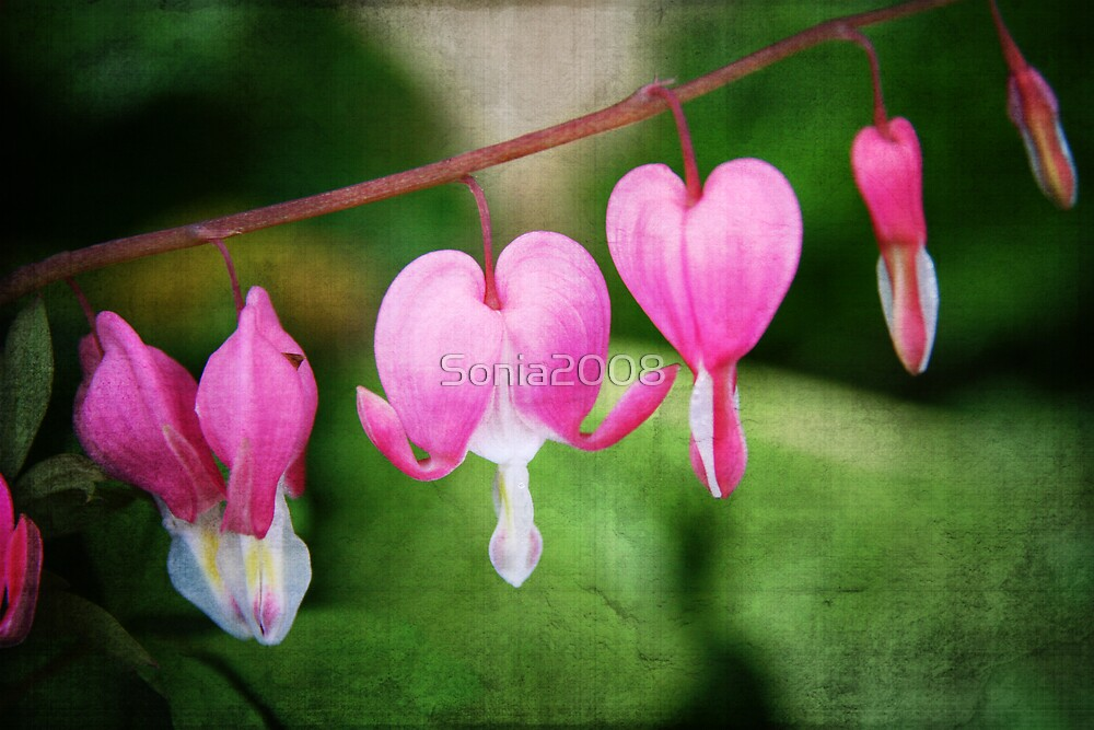 Bleeding Hearts... by Sonia2008