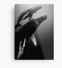 Humpback whales Metal Print