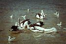 Pelican Feeding Frenzy by Elaine Teague