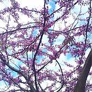 Cherry Blossom by jezkemp