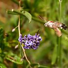 Hummingbird Hawk Moth by Country  Pursuits