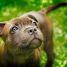 Staffy Pup by ExtremePro