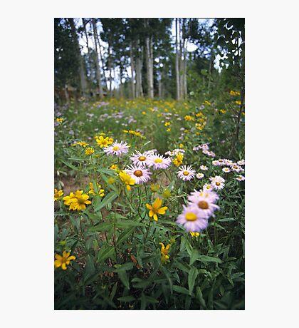 Wildflowers, Grand Mesa, Colorado Photographic Print