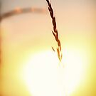 Wild Oat Sunset by heidiannemorris