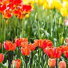 Sunset Tulips by Sharlene Rens