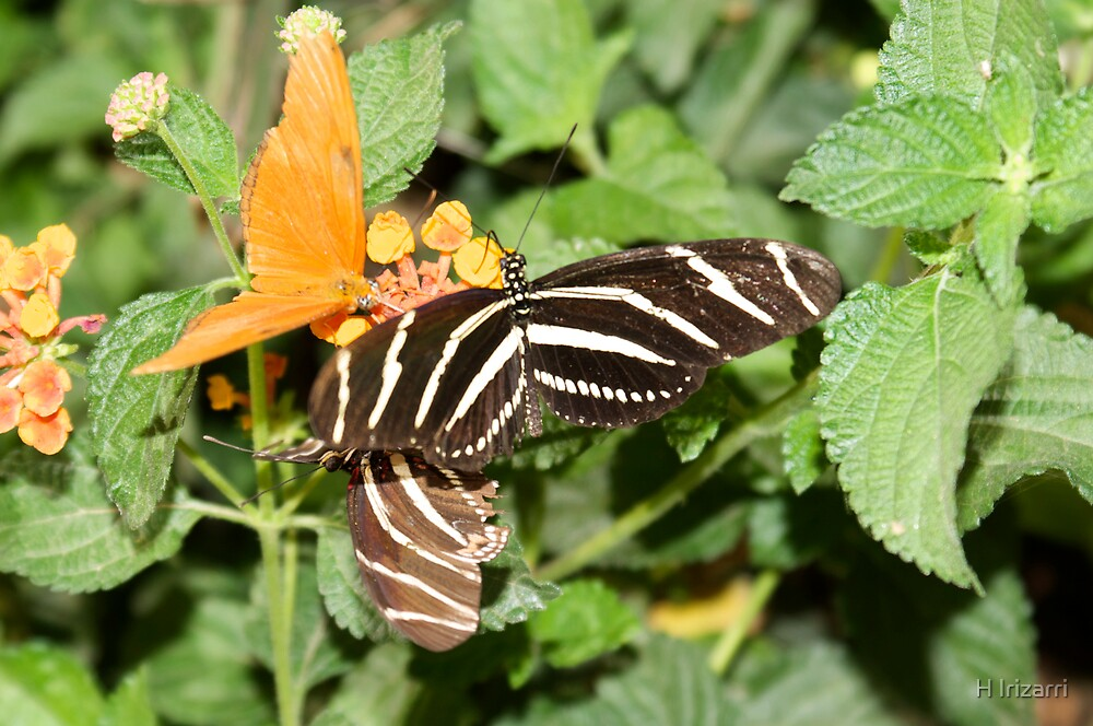 Zebra Longwing Butterfly by Henri Irizarri