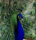 Peacocks pride and glory by Beth Brightman
