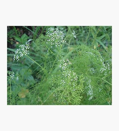 Wild Carrots (I think) Photographic Print