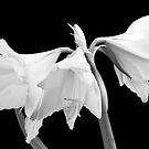White Amaryllis Flower by BlinkImages