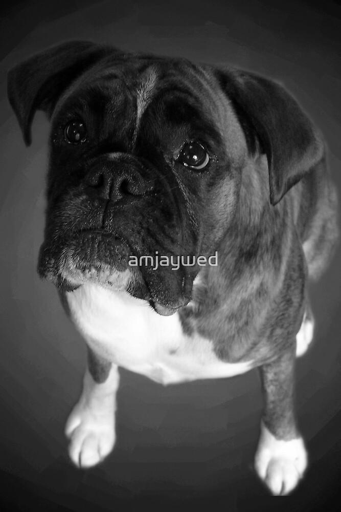 Boxer dog by amjaywed