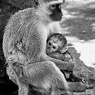 Vervet Monkey and her Infant (Chlorocebus pygerythrus) by Deborah V Townsend