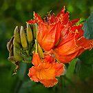 Afrikanische Tulpenbaumblüten von Celeste Mookherjee