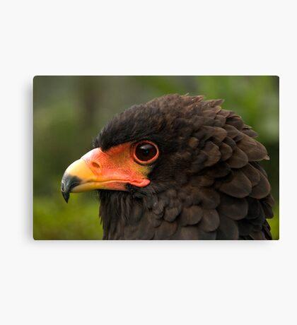 Bateleur Eagle Canvas Print