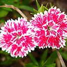 Pink Flowers by Sarah Cook