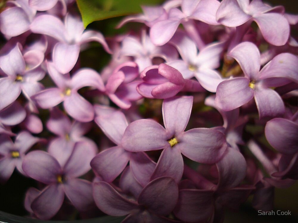 Lilac Flowers by Sarah Cook