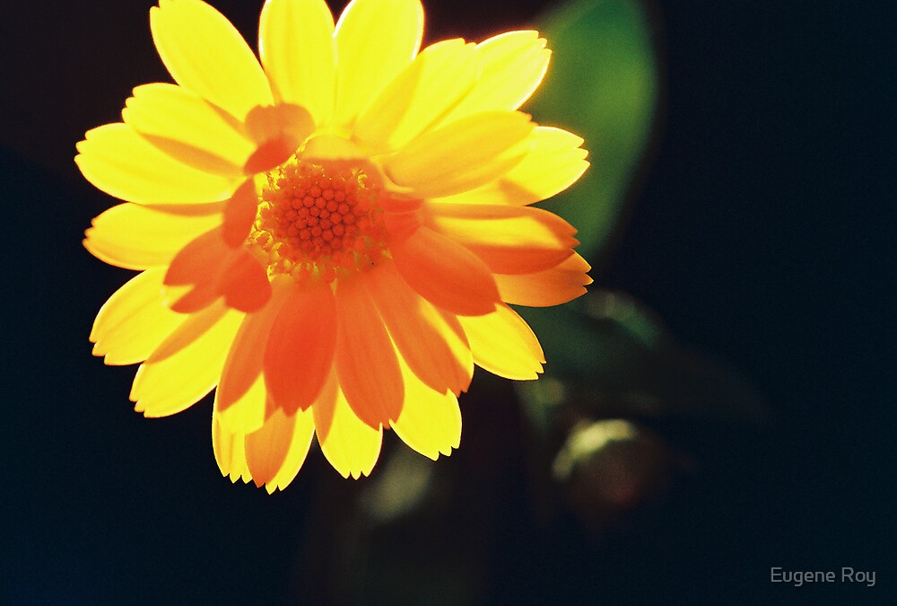 Yellow Delight by Eugene Roy