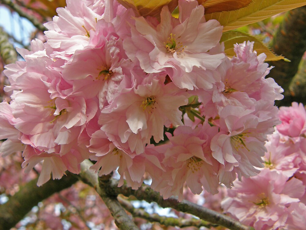 Cherry blossom by jay12