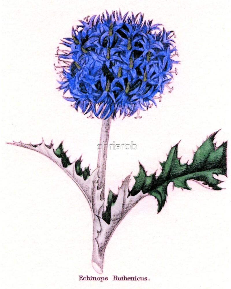 Echinops Ruthenicus or Russian Globe Thistle by chrisrob