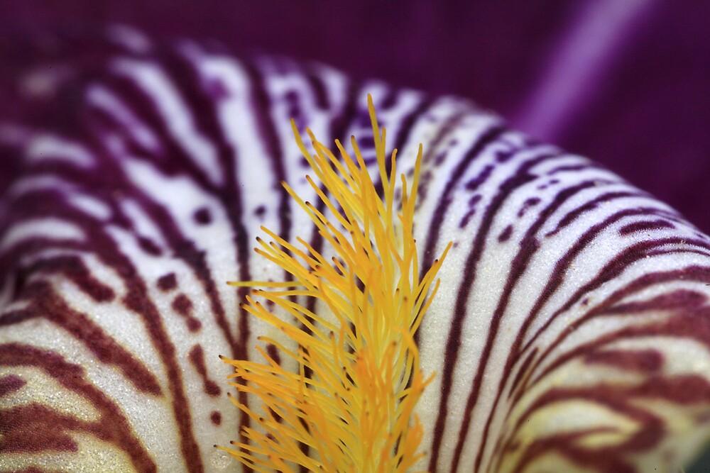 The Iris by toashen