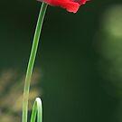 Poppy by Avalinart