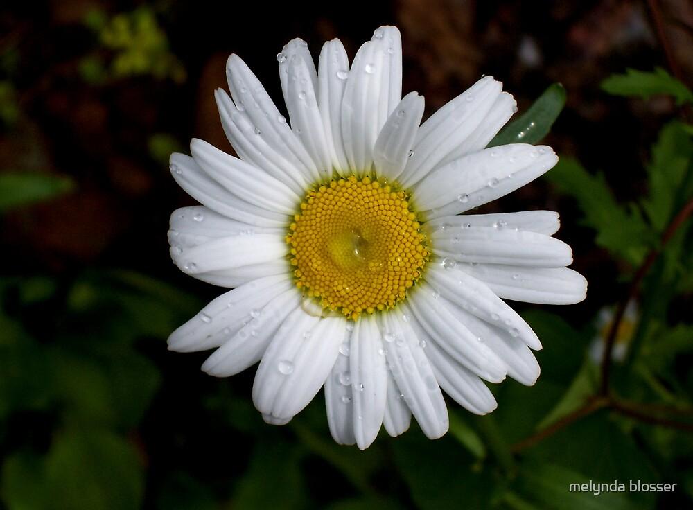 daisy by melynda blosser