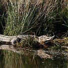 Alligator by Jonicool