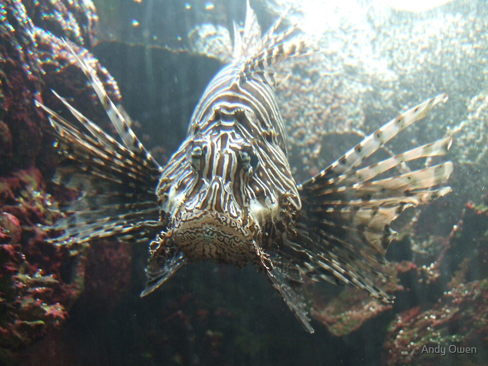Lion fish by Andy Owen