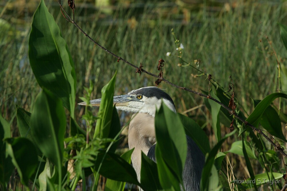 GREAT BLUE HERON 3 by Howard S Taylor
