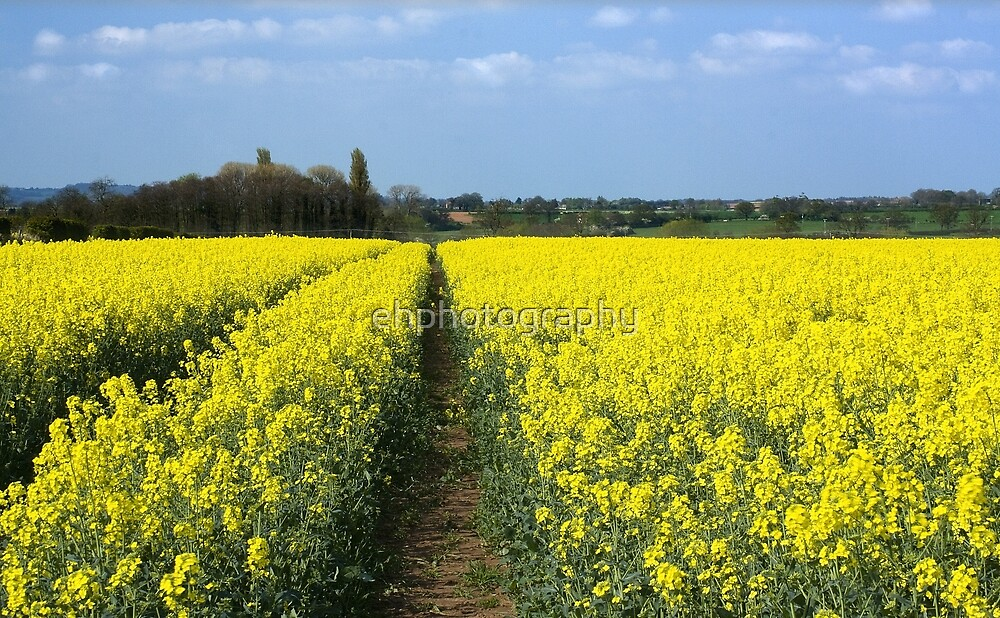 Rapeseed by 0odles