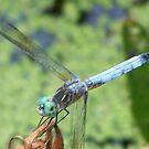 Dragonfly by missliz