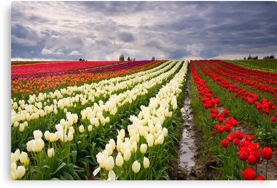 Storm over Tulips by DawsonImages